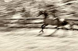 Thoroughbred horse galloping around his paddock