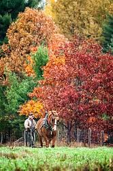 Man driving Belgian draft horse in the fall.