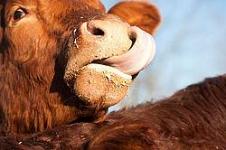 Cow Licking Nose