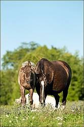 Rocky Mountain Horse