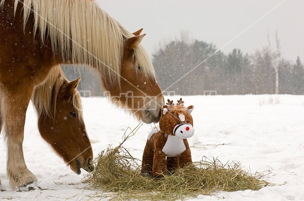 Belgian Draft horse sniffing stuffed pony