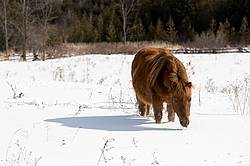 Chestnut pony standing ion deep snow