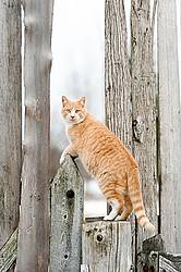 Orange barn cat standing on fence post