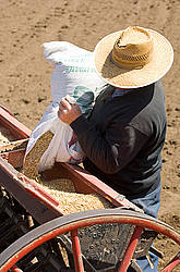 Farmer filling seed drill with oats.