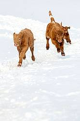 Young Beef Calves Running in the Snow