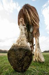 Closeup photo of a horses leg and hoof