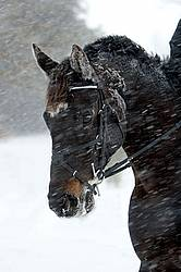 Portrait of a horse in a snowstorm