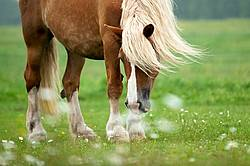 Belgian draft horse standing in field