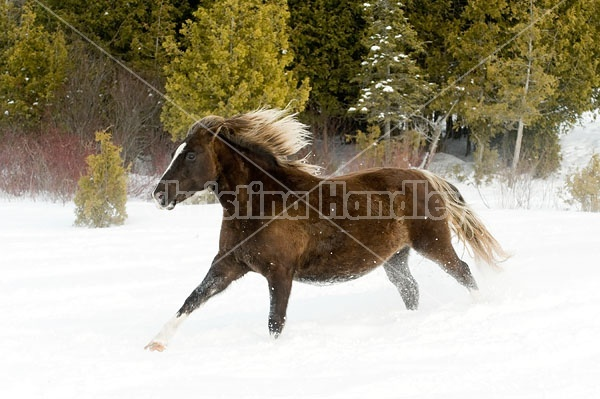 Rocky Mountain horse galloping through deep snow