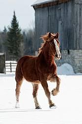 Belgian draft horse galloping through snow