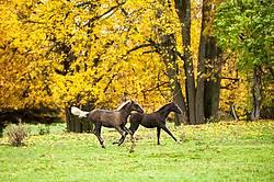 Rocky Mountain Horse foals