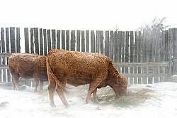 Beef Cattle Standing in Snowstorm
