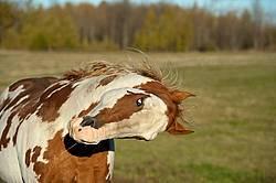 Paint stallion feeling frisky and playful
