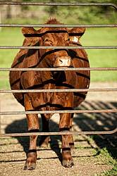 Beef cow standing at gate