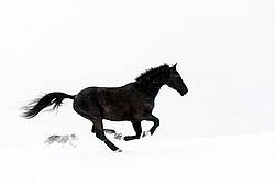 Horse and dog galloping in deep snow
