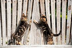 Two tabby kittens playing on bench