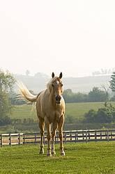Palomino Quarter horse gelding