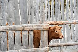 Charolais cross beef cow standing behind wind break fence