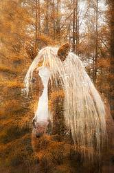 Multiple exposure of Belgain draft horse and Tamarack trees