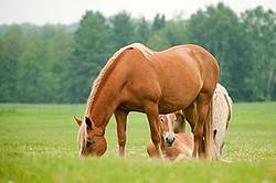 Belgian horses in pasture field