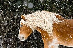 Belgian draft horse outside in a snowstorm.