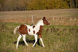 Young paint foal running through field.
