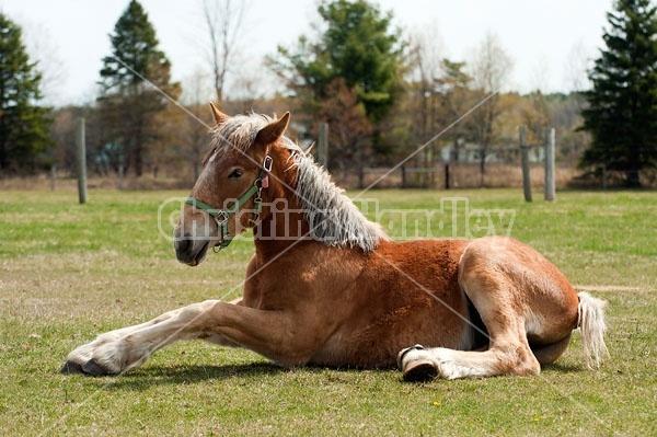 Young Belgian Horse Lying Down