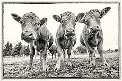 Three Charolais Heifers