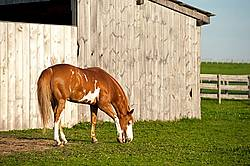 Paint quarter horse cross horse grazing