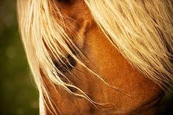 Belgian draft horse portrait