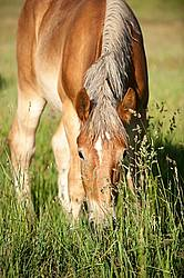 Young Belgian draft horse