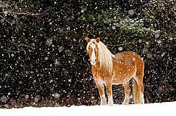 Belgian draft horses standing outside in a snowstorm.