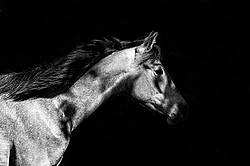 Rocky Mountain Horse portrait in black and white