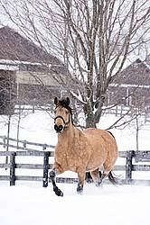 Single buckskin horse trotting through deep snow