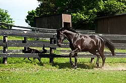 Hanoverian horse and dog