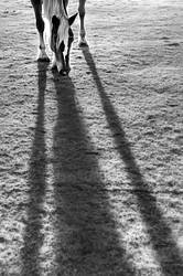Horse grazing with light coming from behind creating a long shadow