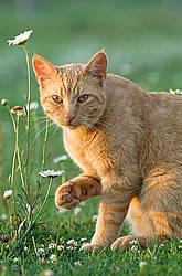 Orange barn cat outside in grass