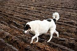 Dog walking across freshly plowed field
