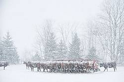 Beef Cattle in Snowstorm