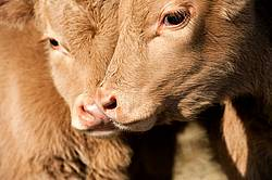 Two Charolais calves