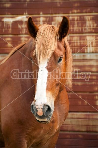 Belgian draft horse gelding