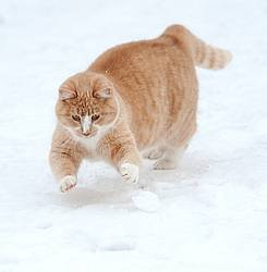 Orange cat playing in the snow