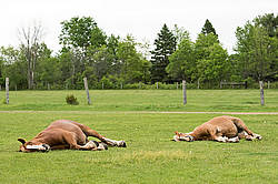 Two Belgian draft horses sleeping