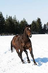 Quarter horse stallion running in deep snow