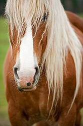 Portrait of Belgian horse