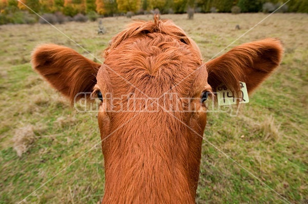 Closeup of beef cow