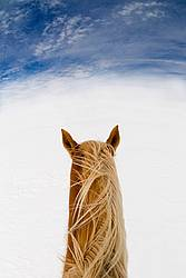 Belgian horse in deep snowy field with blue sky