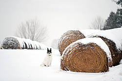 Farm dog sitting beside round bales of hay