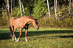 Chestnut Thoroughbred on autumn pasture