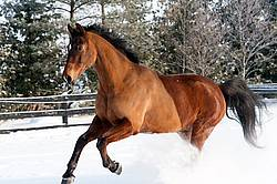Bay horse galloping through the deep snow